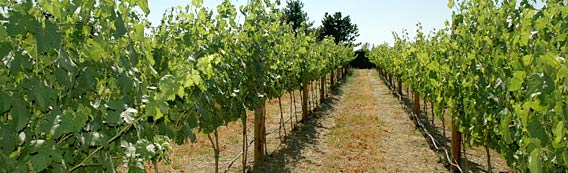 Chinook Wines vineyard row