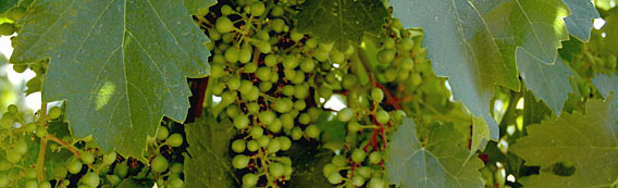 Chinook Wines young grapes